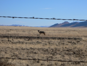 Coyote by the Animas Road